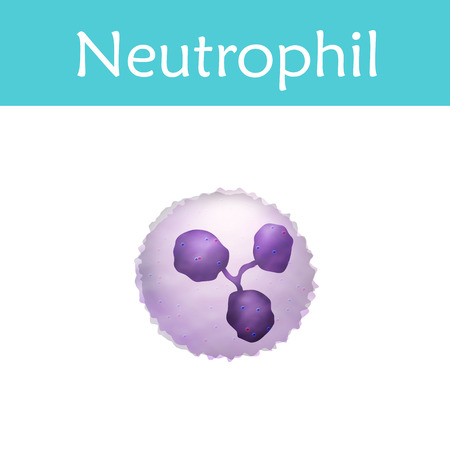 Leukocytes. Neutrophil. White blood cell. Vector medical illustration