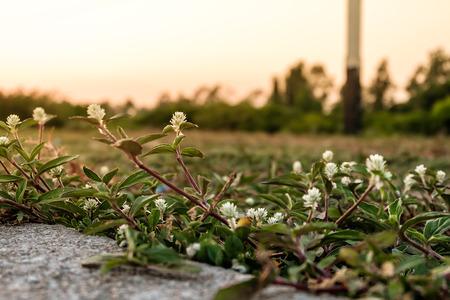 White Globe Amaranth flowers on sunset.
