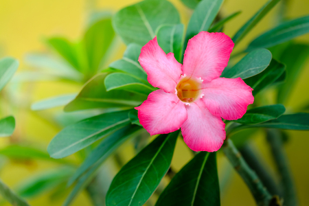 Pink Azalea flowers and leaves on blurred background