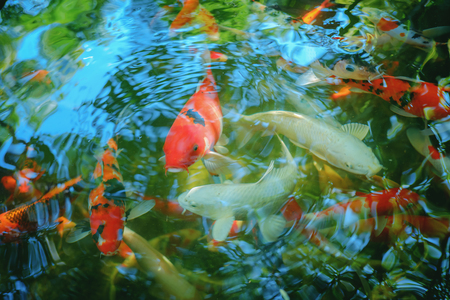 Fancy carp fish in water with top view