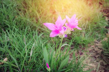 Curcuma sessilis flowers blossom on blurred green leaves background with sunlight, Purple flowers