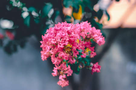 Centered shot of group of pink flowers on crepe myrtle tree