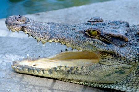 jawbone: Crocodile