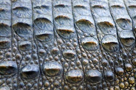 crocodile skin: Close up of crocodile skin Stock Photo