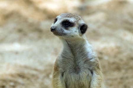 meerkat: meerkat.