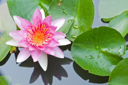 Water Lily or Lotus Flower Floating on Pond photo