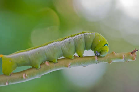 to creep: The green caterpillar creep on branch.