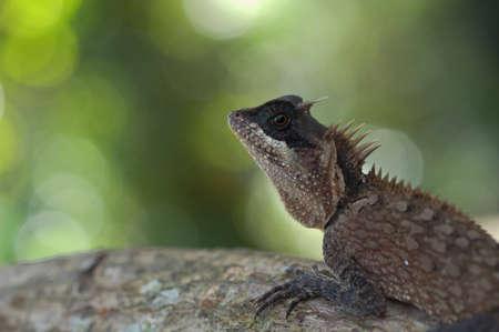 horozontal: Lizard