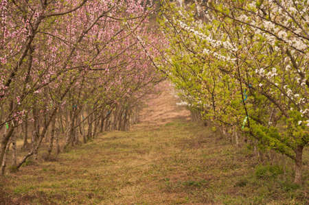 Beautiful plum blossoms. photo