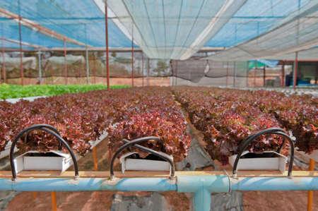 hydroponics: Hydroponics vegetable