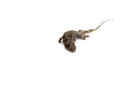 dried lizard carcass on the white background