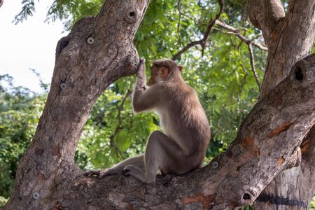 Back view of a monkey sitting on a tree branch and looking at the ghat road, Yercaud, Tamil Nadu Stok Fotoğraf