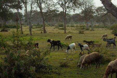 Sheeps and goats grazing along the forest area in Masinagudi, Mudumalai National Park, Tamil Nadu - Karnataka State border, India