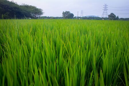 Landscape view of the rice fields, Tamil Nadu, India. View of Paddy fields. 免版税图像