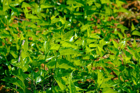 View of the green leaves of the silkworm mulberry