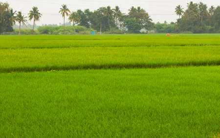 Beautiful view of vast rice fields in rural area, Tamil Nadu, India. View of paddy fields. Selective focus