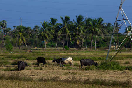 Herd of buffalo and cows grazing on a harvested paddy field. Selective focus