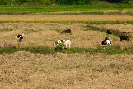 Herd of goats grazing on a harvested paddy field. Selective focus
