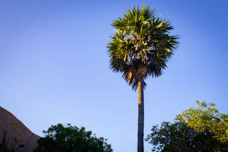 Palmyra palm tree with blue sky background in Mahabalipuram, Tamil Nadu, India. Mahabalipuram is a town located south of Chennai.