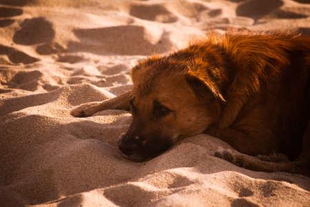 Street dog laying in beach sand of Marina Beach. Sad dog in the sands Reklamní fotografie