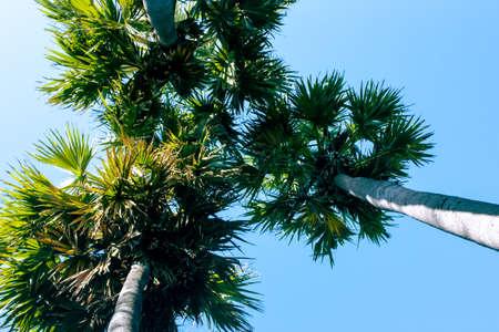 Palmyra palm trees with blue sky background in Mahabalipuram, Tamil Nadu, India.