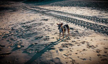 Street dog walking along beach sand of Mahabalipuram Beach. Dog in the sands