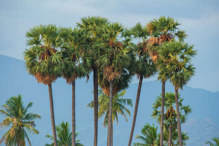 Palmyra palm trees with mountain background in Tamil Nadu, India. Reklamní fotografie