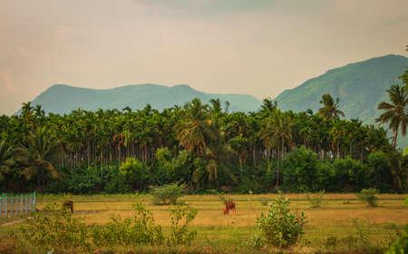 View of areca palm tree plantation. Betel tree plantation along with coconut trees.