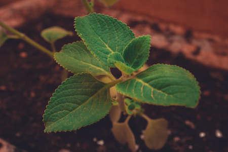 Fresh green leaves pattern of Indian borage, Country borage (Botanical name - Plectranthus amboinicus)
