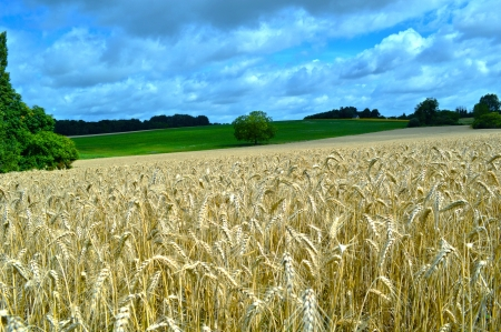 Wheat field in Loire valley Stock Photo - 21747684