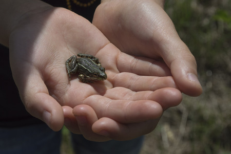 Frog in child hands photo