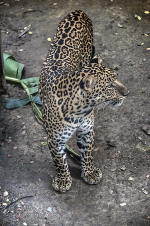 catechism: Panther walking in the jungle