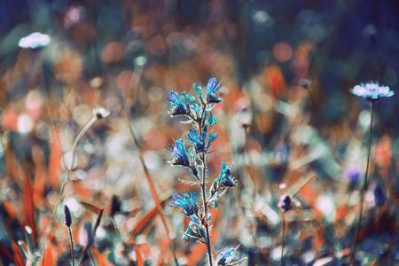 echium: Vipers Bugloss Echium vulgare