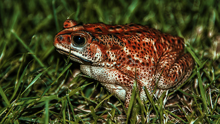 red eyed leaf frog: Frog in the grass