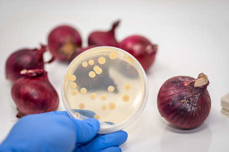 E coli/salmonella bacterial culture plate with bacterial colony isolated from contaminated red onion
