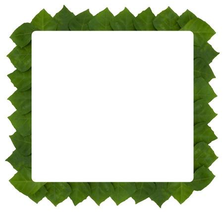 frame of climbing plant- rhoicissus rhomboidea leaf Stock Photo