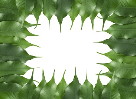 isolated frame of ficus leaf