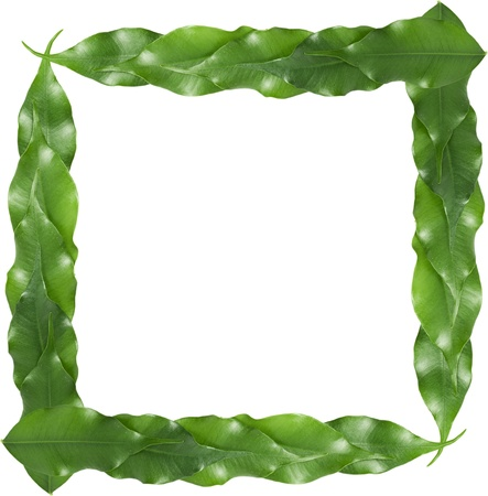 frame of isolated ficus leaf