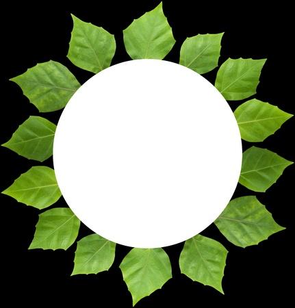 rhoicissus rhomboidea leaf circle frame