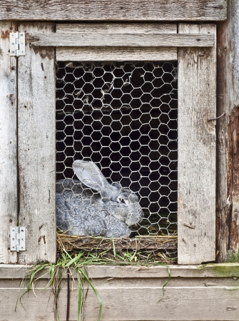 rabbit in cage  版權商用圖片