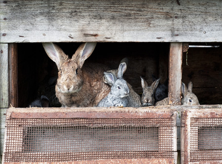 the hutch: Mother rabbit with newborn bunnies  in cage