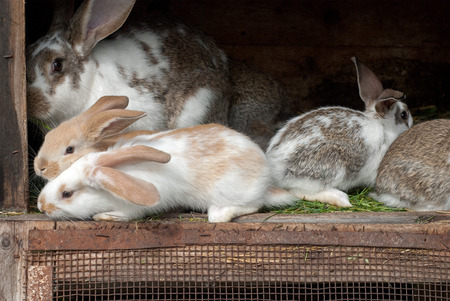 rabbit cage: Mother rabbit with newborn bunnies  in cage