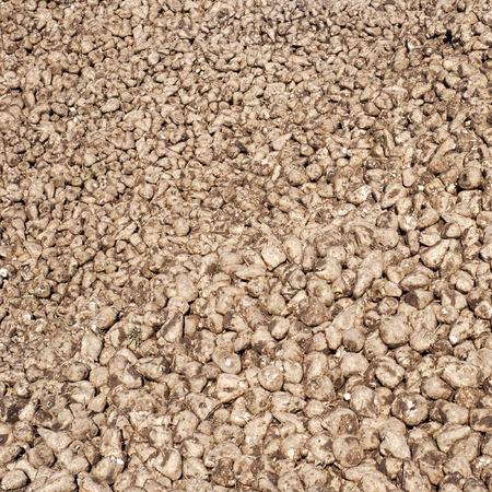 harvest background: Pile of sugar beets after harvest background