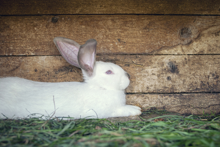 hutch: White rabbit laying on the grass in a hutch