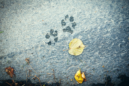 The dog s footprints and  leaves on the floor, autumn time