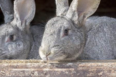 Grey rabbits looking outside through the cage