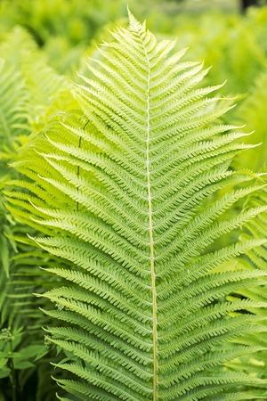 green ferns, close up view, texture background