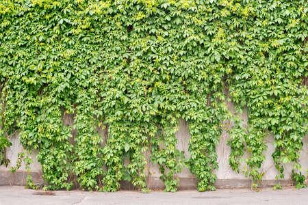 Green creeper plant covering all stucco wall 版權商用圖片 - 81881954