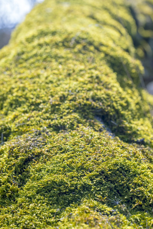 moss on a tree trunk, spring in the forest Stock Photo