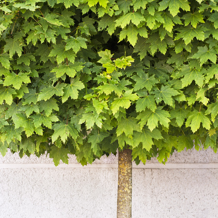 Maple tree growing on the pavement near the wall Stock Photo